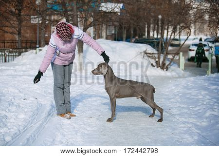 Hunting Pointer Weimaraner Winter In The Snow