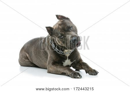 Beautiful american staffordshire terrier dog. Tiger blue color male pet. Isolated on white background.