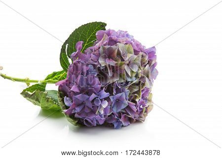 Beautiful purple hydrangea flower lying on white background. Isolated. Copy space.