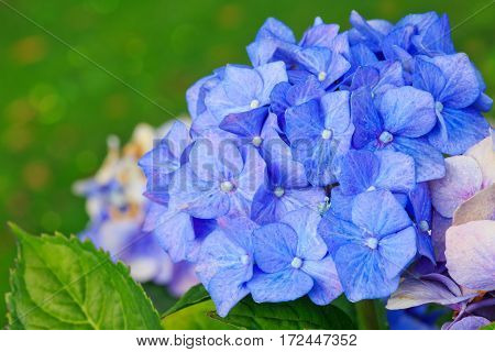 Blooming blue hydrangea plant with green leaves in summer garden.
