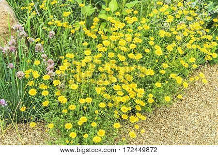 Detail of a flowering alpine slide with decorative wormwood in the summer garden