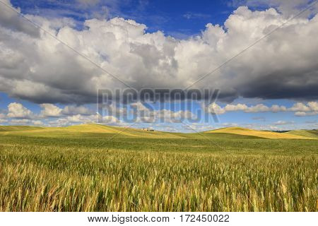 SPRINGTIME.Between Apulia and Basilicata.Hilly landscape with corn field immature, dominated by clouds.In the background farms and farmhouses.ITALY