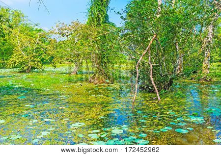The Swamps In Forests Of Sri Lanka