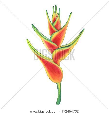 Hanging lobster claw or false bird of paradise flower. Hand drawn watercolor painting on white background.