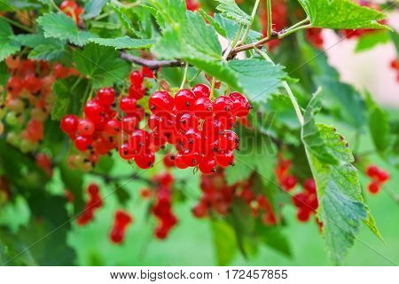 Red Currants Growing In The Garden Summer Harvest