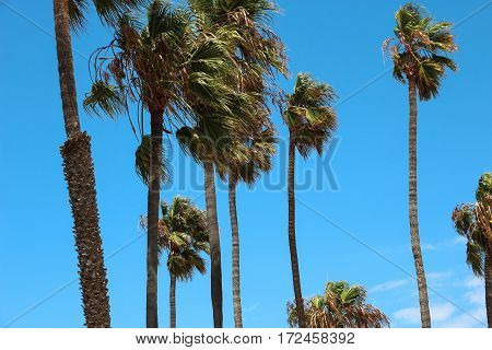 Several palm trees blowing in strong wind against a blue sky.