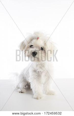 Maltichon puppy also Bichon Maltese doggy on white background