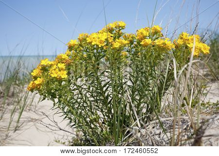 Yellow Puccoon On A Lake Huron Sand Dune - Ontario