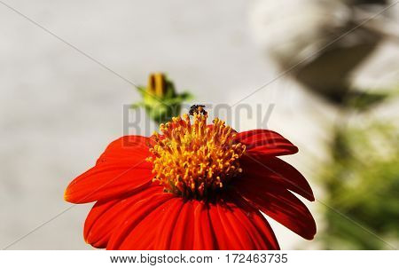 a vibrant dark red orange flower with a tiny bee