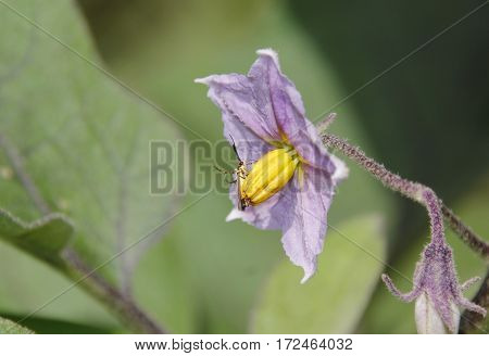 A small light violet flower of an eggplant with a tiny insect on it