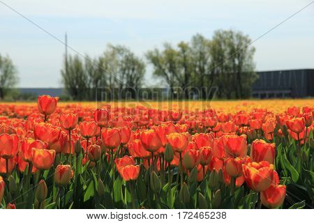 Yellow and orange tulips in a sunny field
