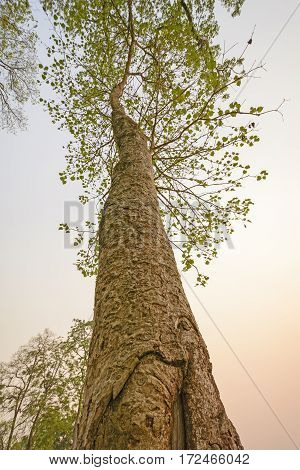 Looking up a Forest Giant in Chitwan National Park in Nepal
