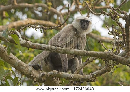 Langur Eating in the Forest in Chitwan National Park in Nepal