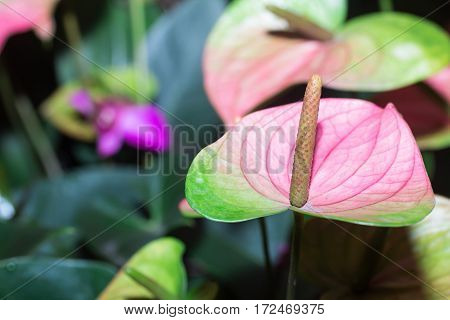 Anthurium flowers on green leaves background in north of Thailand