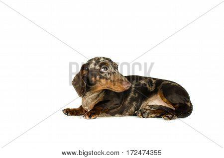 Short Marble Dachshund Dog Lying Is Looking Away, Hunting Dog, Isolated On White Background.