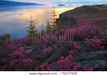 Pink flowers of rhododendron on sunrise background in spring morning at lake Baikal coast