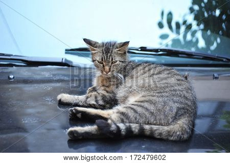 Stray Cat On Car Cowling