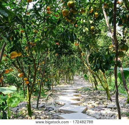 Tangerine Trees With Fruits At The Platation