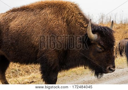 American bison (buffalo) at Neal Smith National Wildlife Refuge near Prairie City Iowa