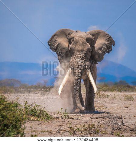 old elephant in amboseli national park kenya