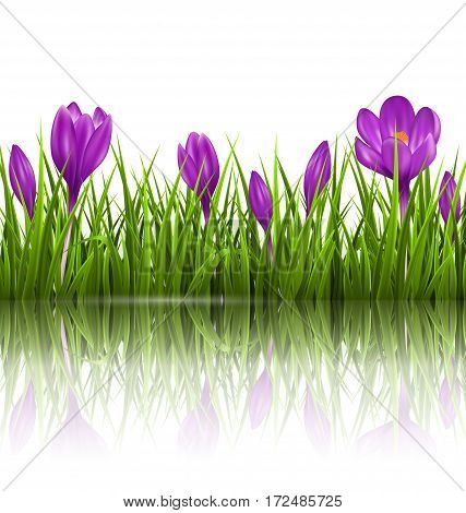 Green grass lawn and violet crocuses with reflection on white. Floral nature spring background