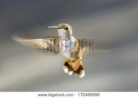 A Rufous Hummingbird hovering with a grey background.