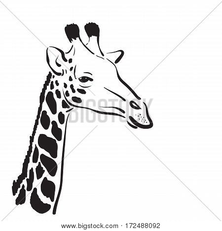 Vector of a giraffe head on white background Wild Animals.