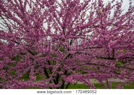 Tree In The Spring. Judas Tree In A Park