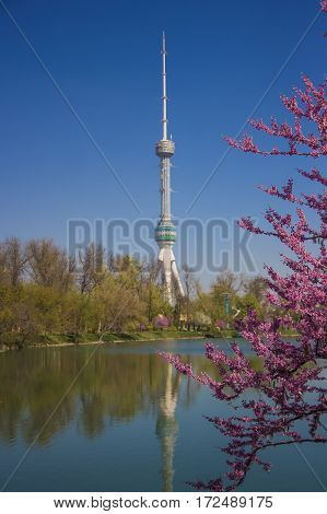 Tashkent Television Tower Behind The Lake With Duck On The Water And Eastern Redbud Flowering In Ear