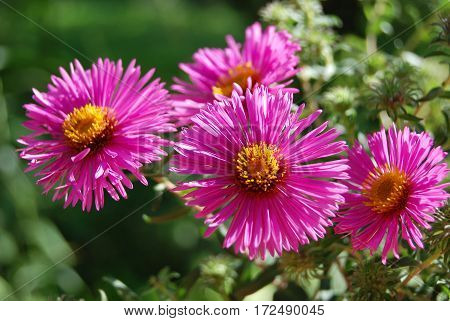 Beautiful Aster Flower