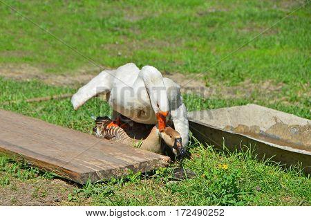 Goose On Farm