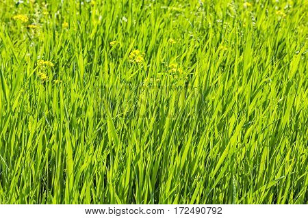 Spring green grass and yellow flowers backlight close up