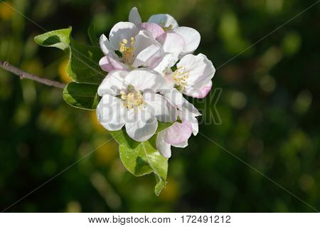 Branch with blooming flowers of the apple-tree in the garden