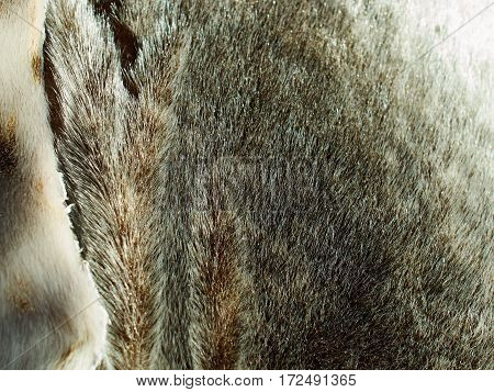 Texture of Arctic seal sea lion fur in close up view
