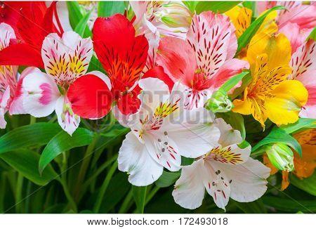 Lilium orientale Almeria. bouquet of colorful flowers. close up.