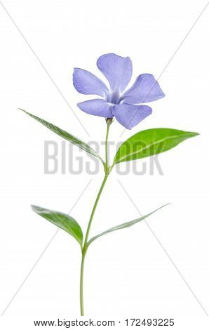 Beautiful Blue Flower Periwinkle On White Background