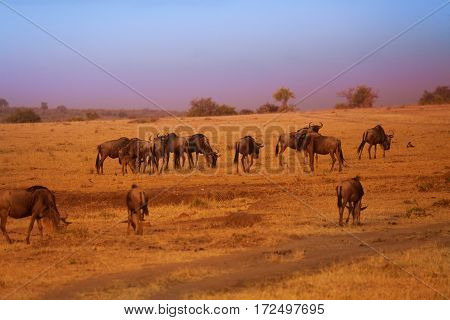 Big herd of blue wildebeests after evening rain in Masai Mara during the Great Migration, Kenya, Africa