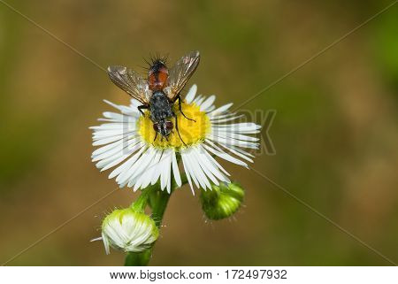 Beautiful tinny fly armed by spikes sitting on chamomile in search of nectar. poster