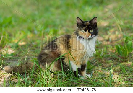 Full body portrait (shallow dof) of three colored cat against green grass