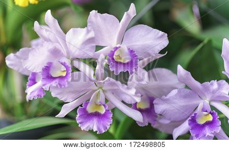 Dendrobium Aphyllum orchids flowers bloom in spring adorn the beauty of nature