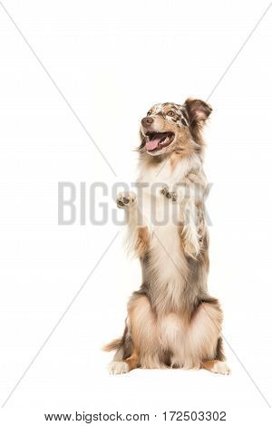 Funny begging australian shepherd dog on a white background
