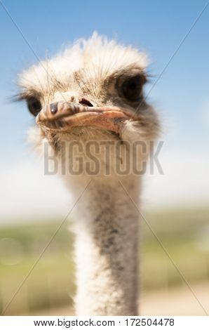 интересный и любопытный страус с умным лицом