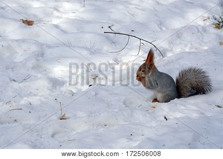 Squirrel sitting on the snow and eating nuts.