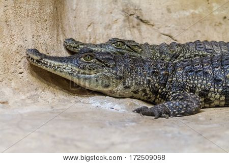 JERUSALEM ISRAEL - JANUARY 23: The young Nile crocodiles in Small Animal House Biblical Zoo in Jerusalem Israel on January 23 2017