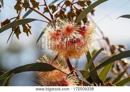 Flowering eucalyptus fluffy flowers of eucalyptus. Close-up selected focus