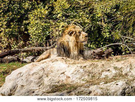 JERUSALEM ISRAEL - JANUARY 23: The Asiatic Lion lying on stone in Biblical Zoo in Jerusalem Israel on January 23 2017