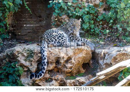 JERUSALEM ISRAEL - JANUARY 23: The Persian Leopard lying on stone in Biblical Zoo in Jerusalem Israel on January 23 2017