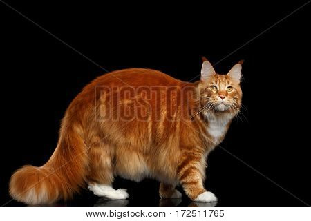 Amazing Tabby Ginger Maine Coon Cat Walking with Furry Tail Isolated on Black Background, Profile view
