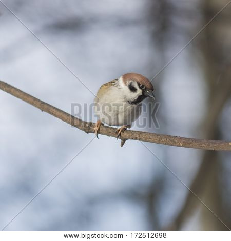 Eurasian Tree Sparrow Passer montanus close-up portrait on branch with bokeh background selective focus shallow DOF