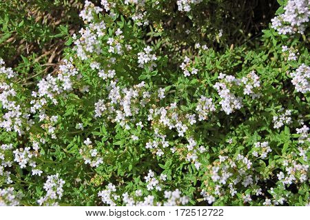Beautiful Thymus Flower